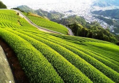 такое зеленый чай для похудения